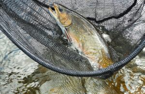 brook-trout-june-2015-esnagami