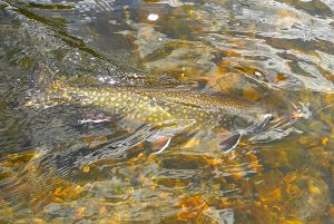 brook-trout-june-2015