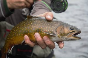 nature-brook-trout