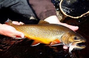 brook_trout_2