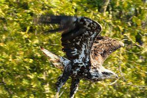 flying-eagle