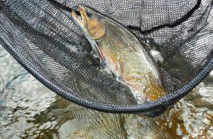 brook-trout-june-2015-esnagami