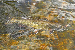 brook-trout-june-2015