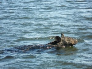 bear-swimming