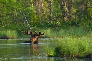 big-moose
