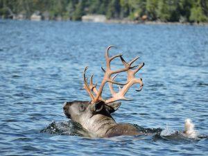 caribou-ontario-2017