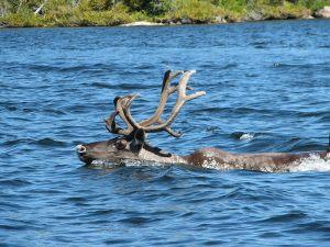 caribou-swimming