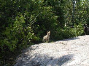 esnagami-wolf